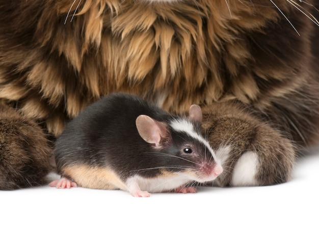 メインクーンとネズミのクローズアップ、座っています。