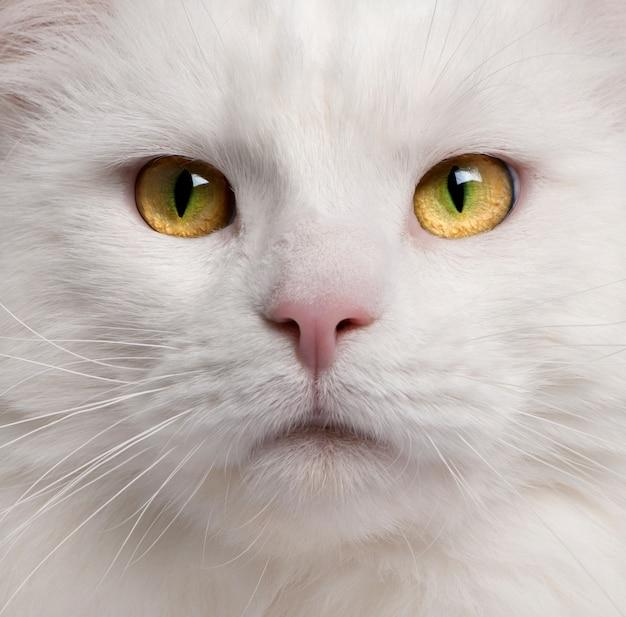 メインクーン猫、3歳のクローズアップ