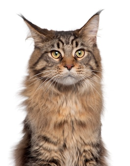 メインクーン猫、7ヶ月のクローズアップ、