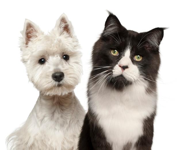 Крупный план кошки породы мейн-кун