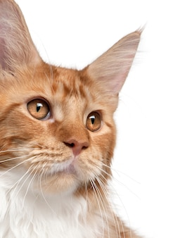 メインクーンの子猫、7ヶ月のクローズアップ、