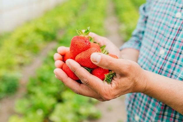 Крупный план мужчины-фермера держит в руках большую спелую клубнику, горсть клубники летом в тепличном сельском хозяйстве и людях