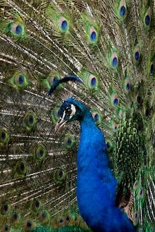 尾の羽を表示するオスのインドクジャクのクローズアップ