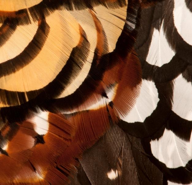 Крупным планом фазан мужского пола ривза, syrmaticus reevesii, перья