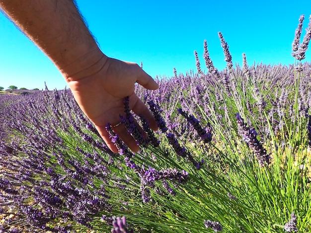 空に対してフィールド上のラベンダーの花に触れている男の手のクローズアップ。澄んだ青い空を背景に野原に生えている新鮮で壊れやすいラベンダーの花をなでる男の手