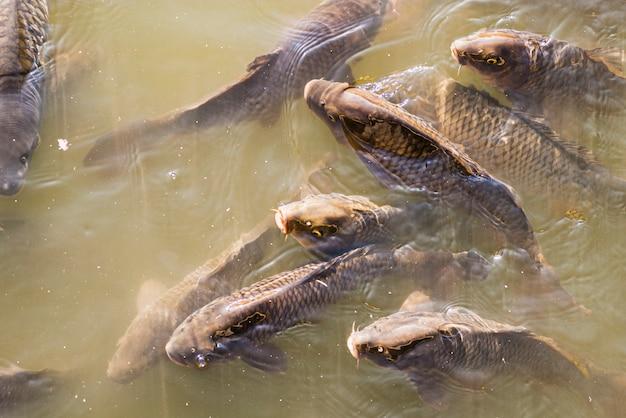 呼吸するために浮上した池の泥水の中の多くの鯉のクローズアップ