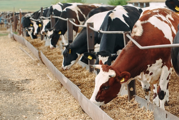 Крупный план коров на большой ферме