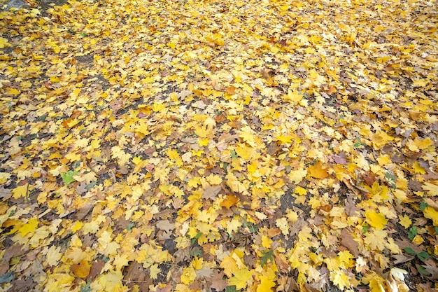 Закройте много опавших желтых листьев, покрывающих землю в осеннем парке.