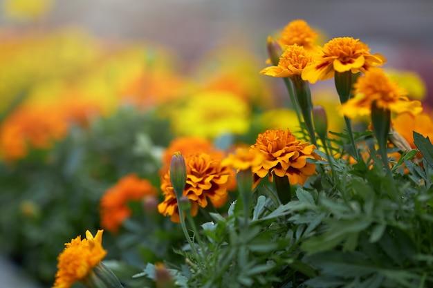 Крупным планом бархатцы цветут в горшках в теплице