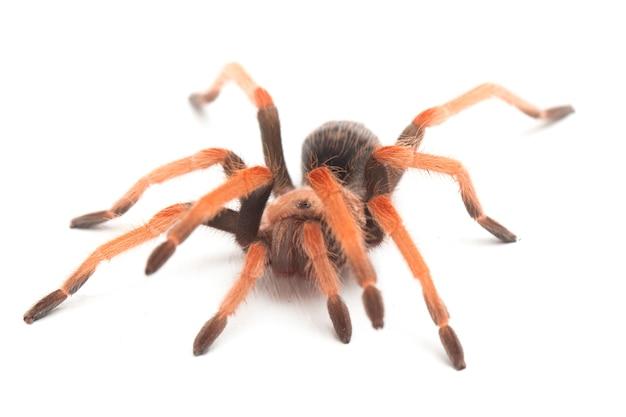 멕시코 fireleg 독 거미의 클로즈업