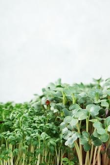마이크로그린 유채과 야채의 클로즈업입니다. 가정 정원 가꾸기 및 실내 녹지 성장의 개념