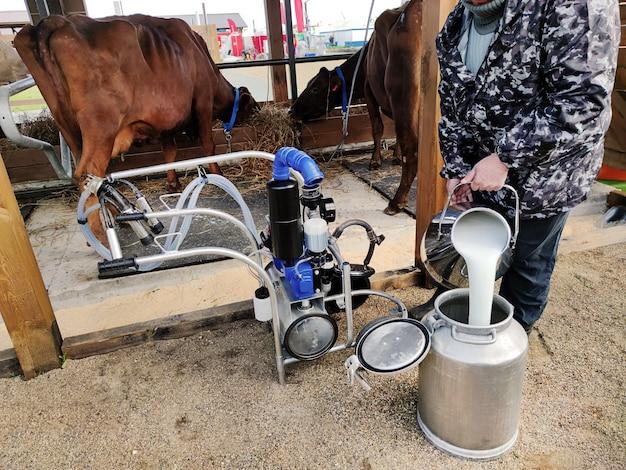 마구간에서 짚을 먹고 있는 시멘탈 소 앞에 서 있는 착유기를 닫습니다. 우유 배달원은 우유를 캔에 붓습니다. 젖소
