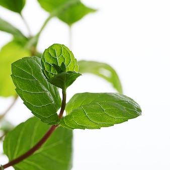 민트 잎의 클로즈업