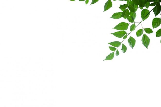 Закройте вверх лист дерева пробочки зеленого цвета взгляда природы на белой предпосылке под солнечным светом и copyspace