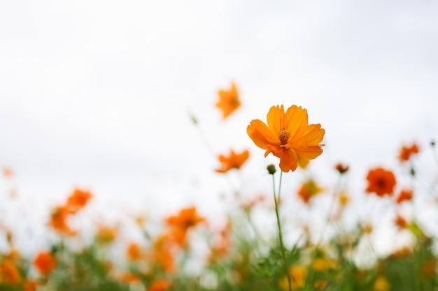Крупным планом оранжевый цветок космоса на размытом фоне зелени под солнечным светом