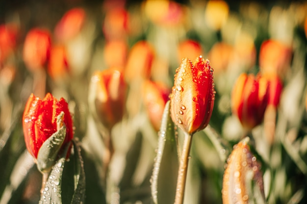 水スプレー、露、日光と庭のオレンジ色のチューリップの花のクローズアップ。自然な背景。