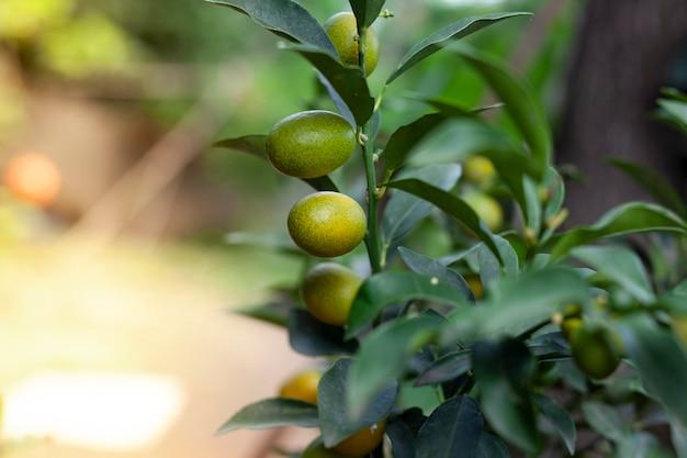 木の上の有機キンカン果実のクローズアップ