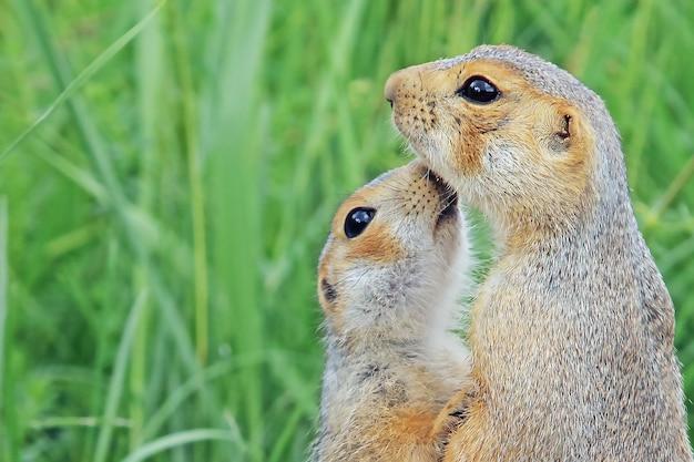 緑の牧草地でお互いを嗅いでいる面白いふわふわのかわいいジリスのペアのクローズアップ、野生の愛の動物