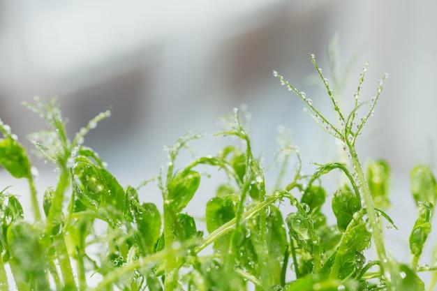 エンドウ豆のマイクログリーンの芽のクローズアップ。生の芽、マイクログリーン、健康食品のコンセプトをフラッシュ