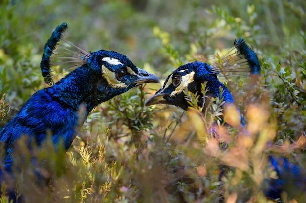 緑の茂み、野生動物の鳥の孔雀のクローズアップ。