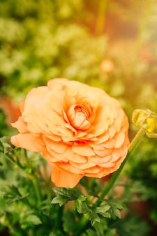 Крупный план персидского лютика оранжевый цветок