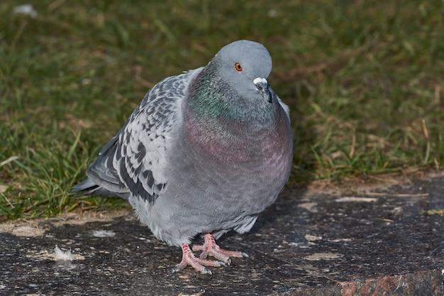 Крупным планом голубь на лужайке городской площади
