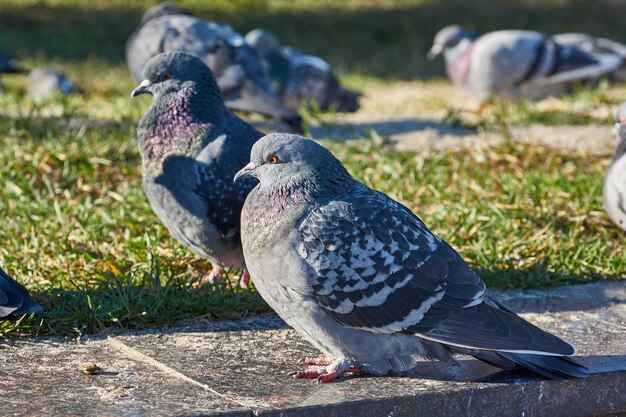 Крупным планом голубей на лужайке городской площади