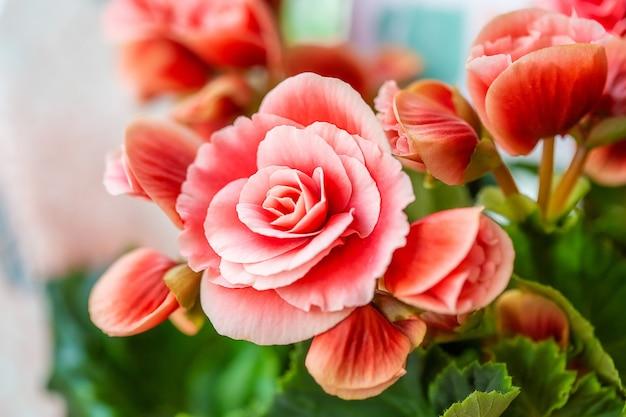 それらのテクスチャ、パターン、詳細を示すピンクのベゴニアの花のクローズアップ