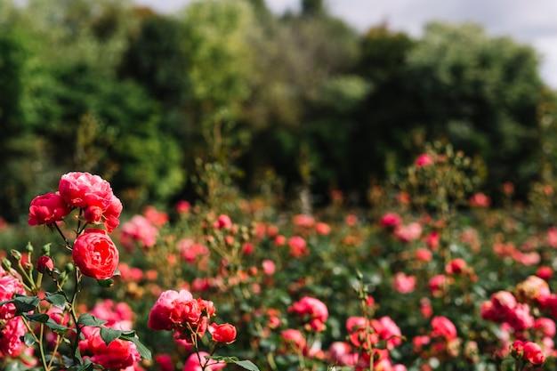 정원에서 분홍색 재배 꽃의 근접 촬영