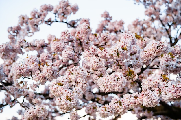 枝に咲く桜の木のピンクの花のクローズアップ。