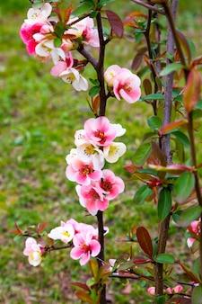 Крупный план розовых цветов кустарника chaenomeles japonica, широко известного как айва японская или айва маула в солнечном весеннем саду, красивые японские цветы на цветочном фоне, сакура