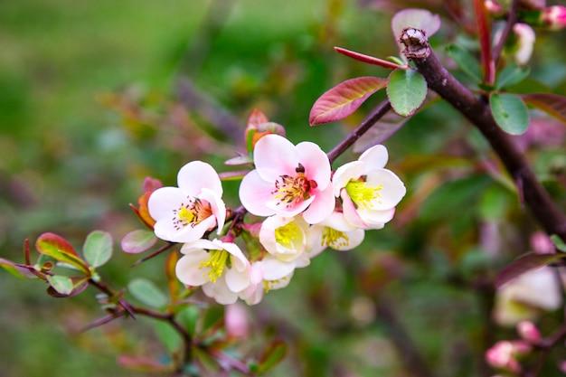 Крупный план розовых цветов кустарника chaenomeles japonica, широко известного как айва японская или айва маула, в солнечном весеннем саду, россия, сочи, дендрарий парк в марте 2021 года, сакура