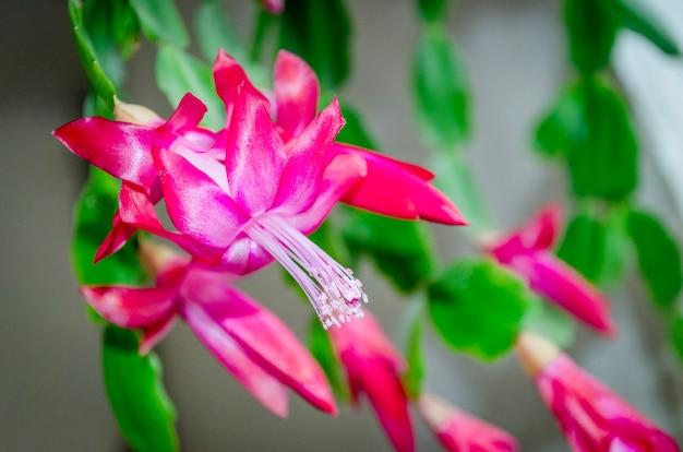 Крупный план розовых цветов зигокактуса или комнатного растения рождественской елки