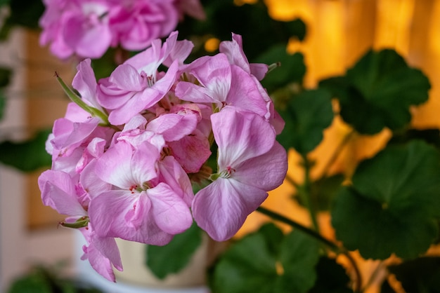Крупным планом розовая герань в цвету