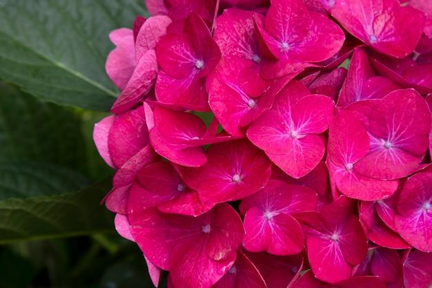 정원에 있는 분홍색 수국 꽃 수국 매크로필라, 여름 배경