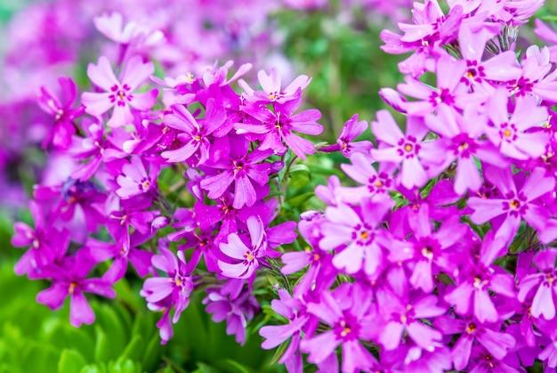 ピンクのモスフロックスの花のクローズアップ(グラウンドピンク、モスピンク)