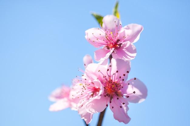 木の枝にピンクの桃の花の花のクローズアップ。春の時間。