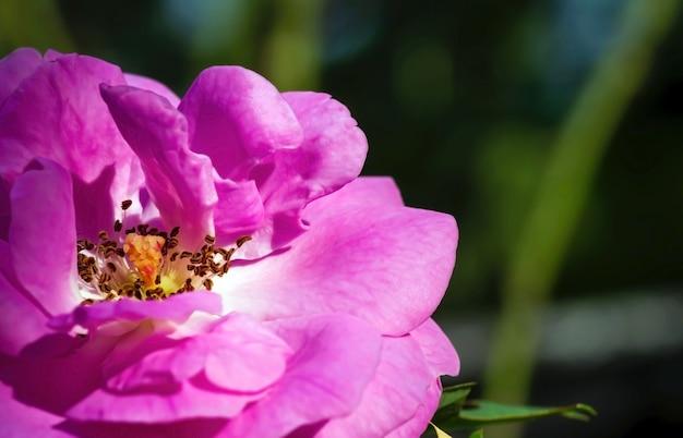 자연 배경을 위해 선택된 초점, 분홍색 장미 암술의 클로즈업