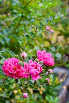 Крупный план розовой розы