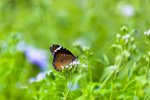 プレーンタイガーバタフライまたは植物の上で休んでいるダナウスクリシッパスバタフライとしても知られているのクローズアップ