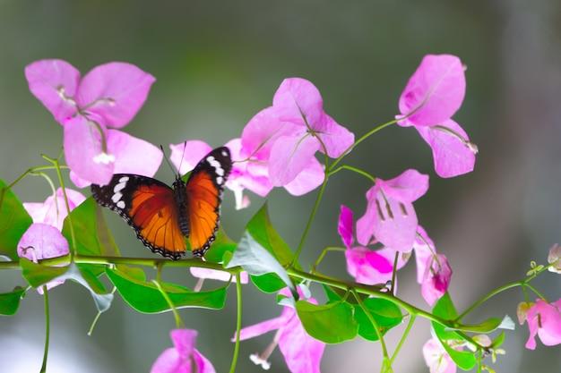 꽃 식물에 쉬고 있는 일반 호랑이 danaus chrysippus 나비의 클로즈업