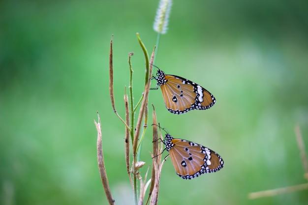 自然の背景で植物に休んでいるカバマダラdanauschrysippus蝶のクローズアップ