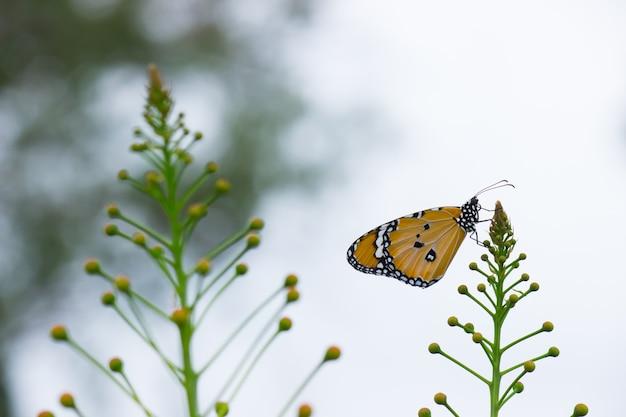 公共の公園で自然の中で花を訪れるカバマダラdanauschrysippus蝶のクローズアップ