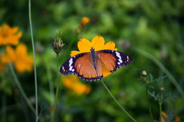 公共の公園で自然の中で花を訪問カバマダラdanauschrysippus蝶のクローズアップ
