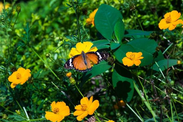 公共の公園で自然の中で花を訪問カバマダラdanauschrysippus蝶のクローズアップ Premium写真