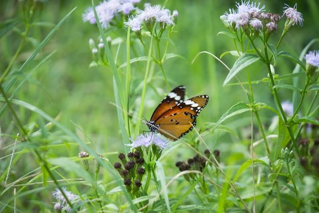 일반 호랑이 danaus chrysippus 나비가 공원에서 자연에서 꽃을 방문하는 것을 닫습니다
