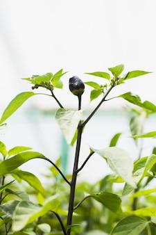 黒い果実を持つ植物のクローズアップ