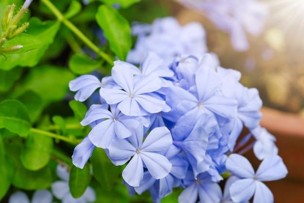 Plumbago auriculataのクローズアップ。青い花