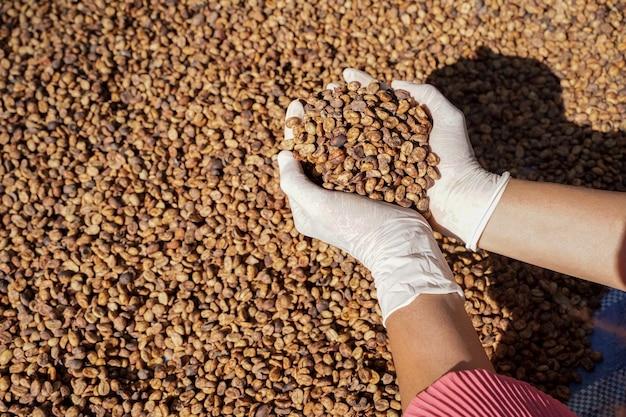 Крупный план обработанных и сушеных кофейных зерен арабики в руках фермера.