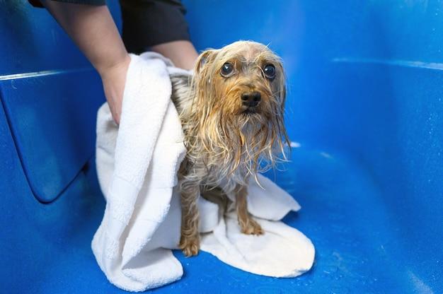 Крупный план профессионального грумера, сушащего мокрую собаку йоркширского терьера, завернутую в белое полотенце в салоне ухода за домашними животными.